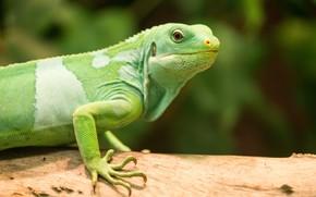Картинка природа, ящерица, ствол, зеленая