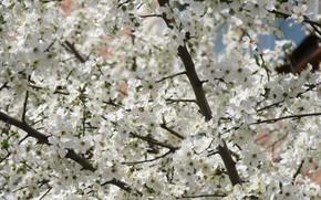 Картинка дерево, белые цветы, апрель, весна 2018, mamala ©