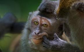 Картинка обезьяна, Малайзия, примат, макак-крабоед