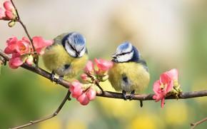 Картинка цветы, веточка, весна, Птицы, Синички