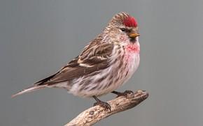 Картинка птица, клюв, хвост, чечётка