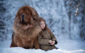 Картинка зима, снег, настроение, собака, девочка, друзья, пёс, Тибетский мастиф