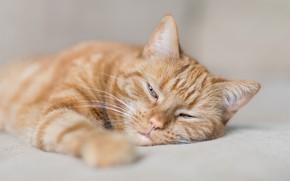Обои кошка, мордочка, отдых, рыжий кот