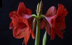 Картинка макро, красный, амариллис
