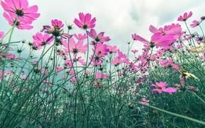 Картинка поле, лето, цветы, summer, розовые, field, pink, flowers, cosmos