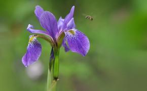 Картинка макро, природа, пчела, лепестки, ирис