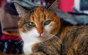 Картинка кошка, кот, киса, коте