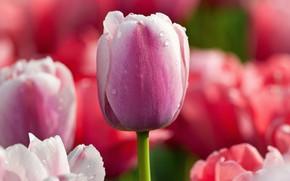 Картинка цветок, капли, макро, розовый, цвет, тюльпан