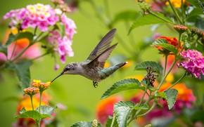 Обои полет, цветы, крылья, колибри