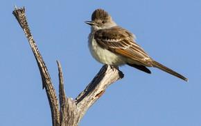 Картинка птица, ветка, клюв, хвост, пепельногорлая тиранновая мухоловка