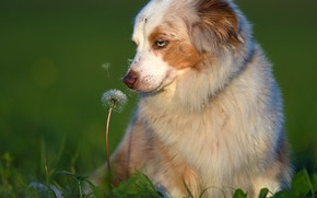 Картинка собака, боке, Аусси, настроение, Австралийская овчарка, одуванчик