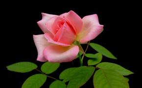 Картинка листья, макро, фон, роза, лепестки, бутон