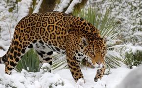 Обои хищник, снег, ягуар
