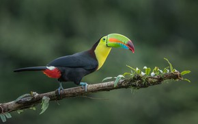 Картинка птица, джунгли, тукан, ветка