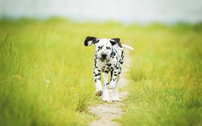 Картинка трава, собака, луг, щенок, прогулка, тропинка, боке, пёсик, Далматин