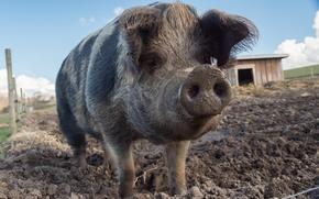 Картинка фон, грязь, свинья
