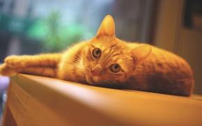 Картинка кошка, глаза, кот, взгляд, поза, стол, портрет, лапы, окно, рыжий, лежит, мордашка, ракурс, помещение, котэ, ...
