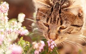 Обои кошка, кот, морда, цветы, природа, серый, фон, настроение, оса, насекомое, полосатый, нюхает, вереск