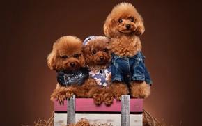 Обои пёсики, пудели, Той пудель, фотосессия, трио, ящик, наряды, собаки, троица