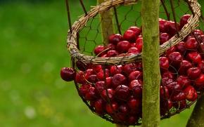 Картинка природа, вишня, ягоды, сетка, корзина, еда, ветка, урожай, корзинка, много, зеленый фон, черешня, висит, сочная, …