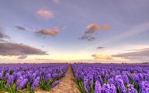 Картинка цветы, весна, ярко, цветение, гиацинт, кустики