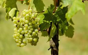 Картинка листья, природа, виноград, виноградник, грозди винограда