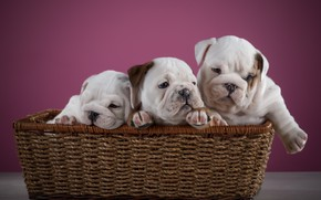 Картинка щенки, Корзина, розовый фон, Малыши