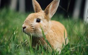 Картинка трава, кролик, ушки