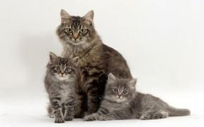 Картинка котята, серые, трио, мама