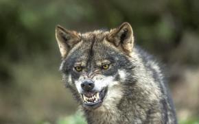 Обои боке, волк, хищник, клыки, оскал