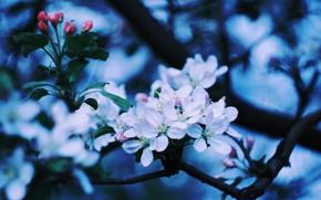 Картинка Яблоня, цветок яблони, цветущая яблоня, ветка яблони