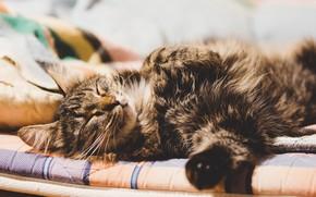 Картинка кот, пушистый, котёнок, спящий кот, ленивый кот