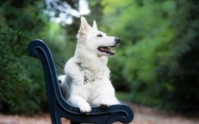 Картинка скамейка, собака, боке, Белая швейцарская овчарка