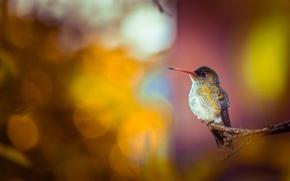 Картинка фон, птица, ветка, колибри, боке
