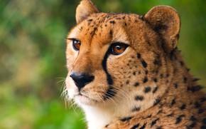 Обои кошка, шерсть, глаза, гепард