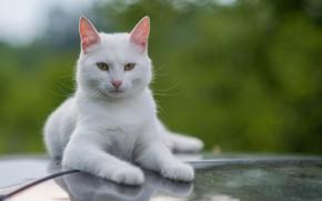 Картинка белый, кот, усы, взгляд, котэ
