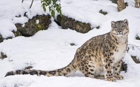 Обои снег, хищник, ирбис, нивальный барс