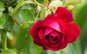 Картинка роза, лепестки, красная