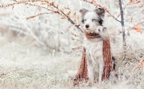 Обои трава, облепиха, куст, шарф, аусси, сидит, австралийская овчарка, иней, сад, природа, зима, снег, собака
