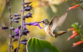 Обои птица, перья, клюв, колибри, окрас, перышки