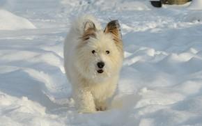 Картинка Зима, Снег, Собачка, Dog, Winter, Snow, Вест-хайленд-уайт-терьер