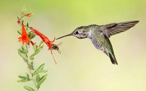 Картинка цветок, птица, крылья, клюв, колибри, калипта Анны