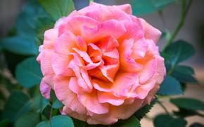 Картинка макро, розовый, роза, пышный