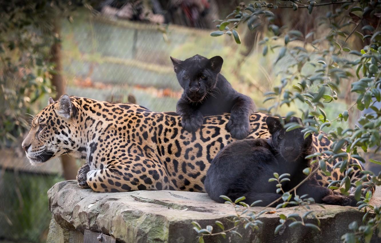 Фото обои кошки, природа, малыш, мама, ягуары