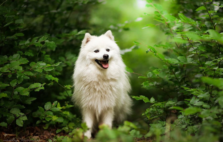 Фото обои трава, природа, собака, прогулка, шпиц