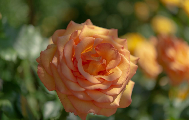 Фото обои макро, роза, оранжевая, бутон