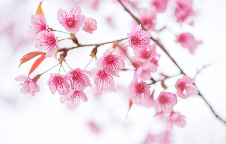 Фото обои небо, ветки, весна, сакура, цветение, pink, blossom, sakura, cherry, spring, bloom, vintag