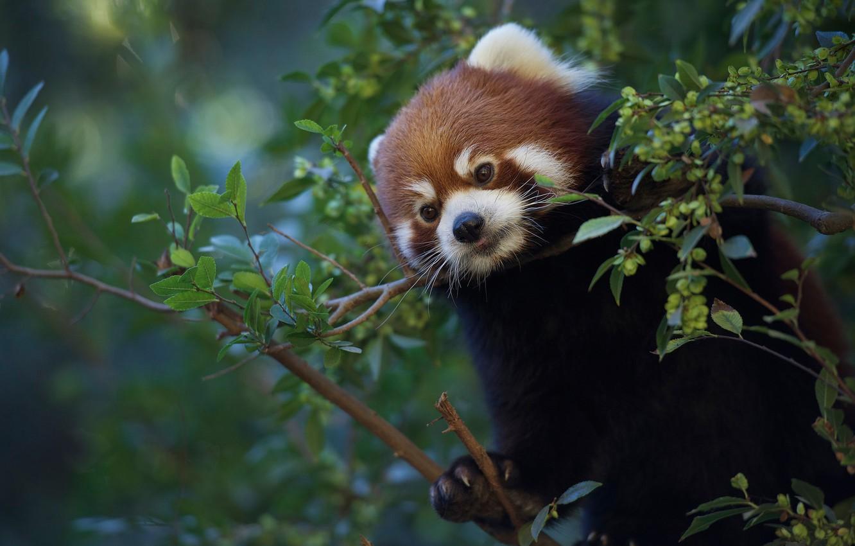 Фото обои ветки, Красная панда, Малая панда