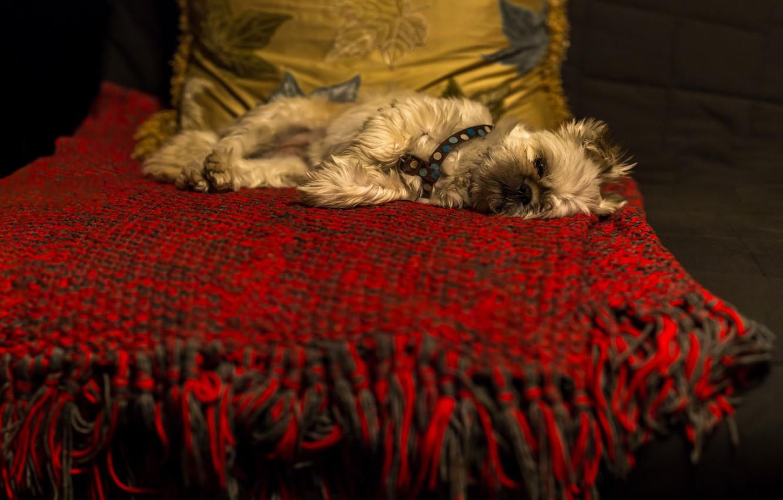 Фото обои темный фон, комната, диван, собака, лежит, подушка, плед, собачка, лень, йоркширский терьер, йорк-терьер, прострация, всё …