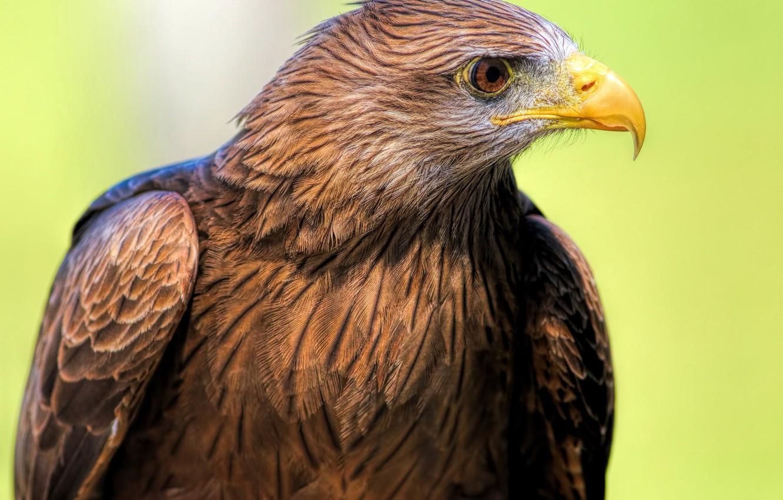 как скопировать фотографии хищных птиц член американской академии